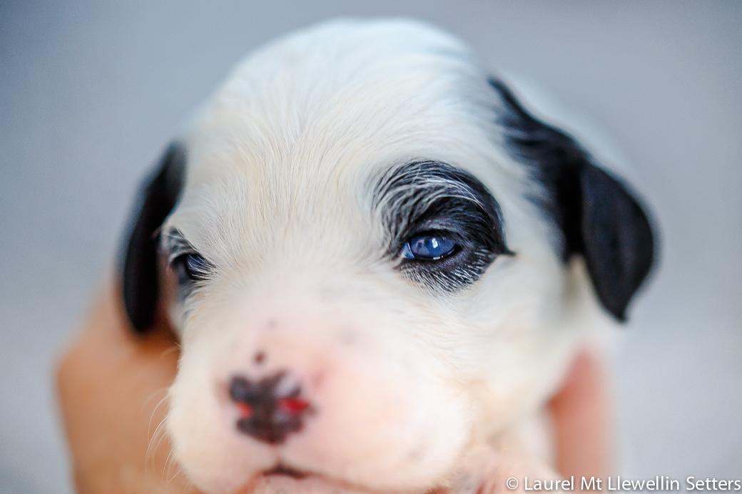 Genesee, female white/black llewellin setter puppy