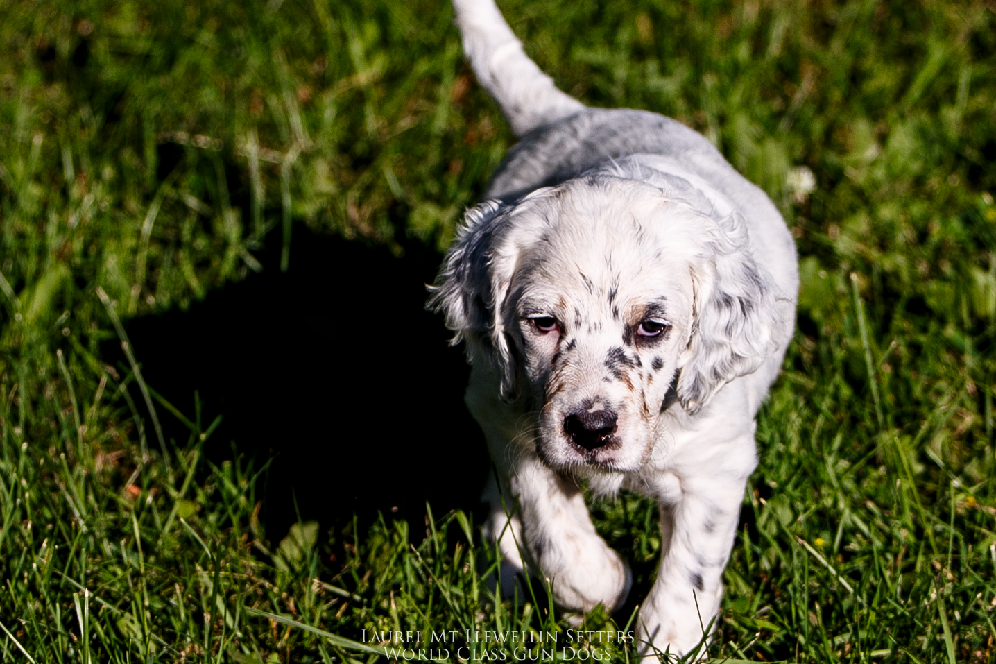 Alle - female tri-belton llewellin setter puppy out of Santana by Count