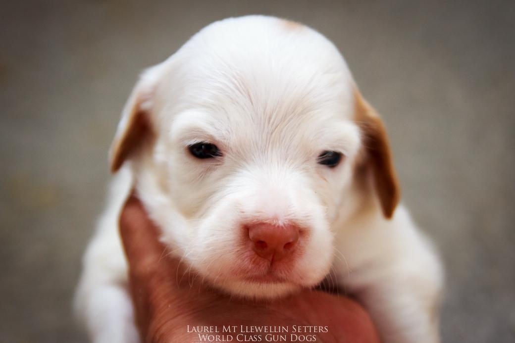 """#6: Female """"Belle Starr"""" White/Orange"""