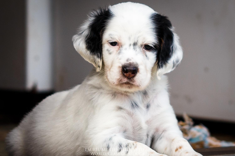 Male Llewellin Setter puppy
