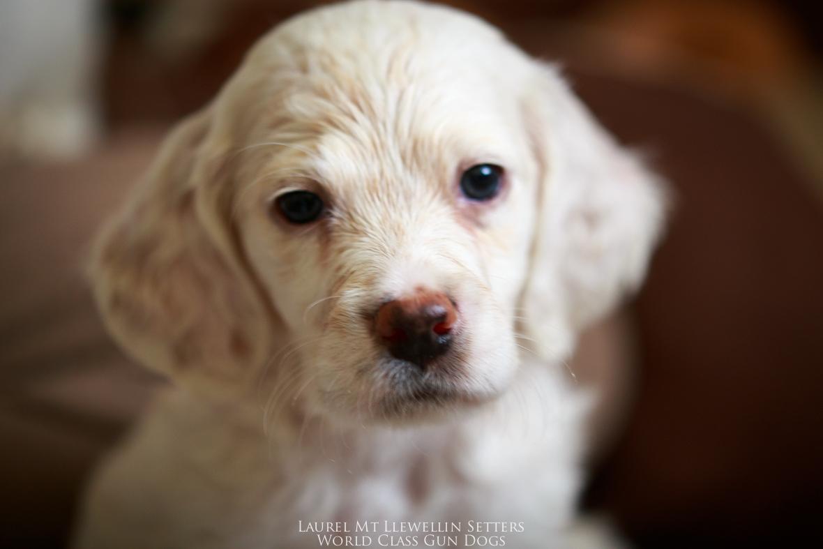 Oceanus, male orange belton llewellin setter puppy