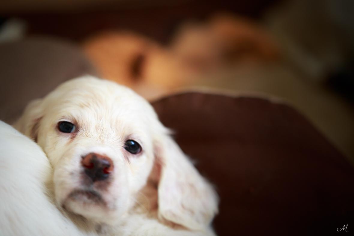 Laurel Mt. Llewellin Setter puppy, Jasper.