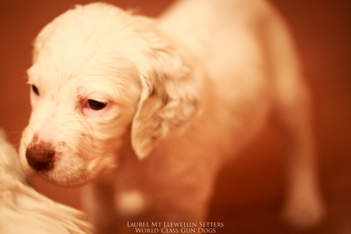 """Sookee""puppy-male chestnut belton llewellin setter puppy out of Santana by Count"