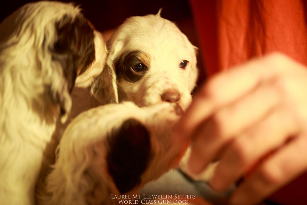Laurel Mt Llewellin Setter puppies