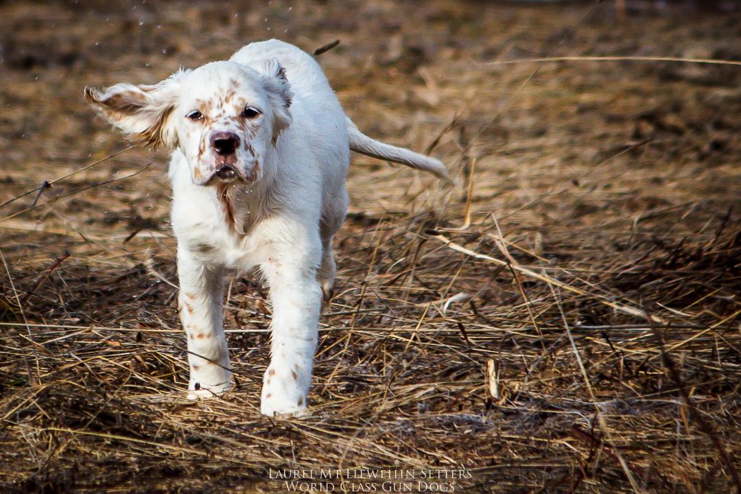 Hank, an orange belton Laurel Mt. Llewellin Setter puppy