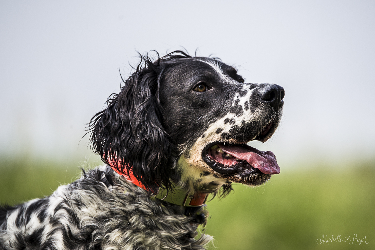 Gorgeous male Llewellin Setter ready for a training session. 20150702-_MG_8206-Edit