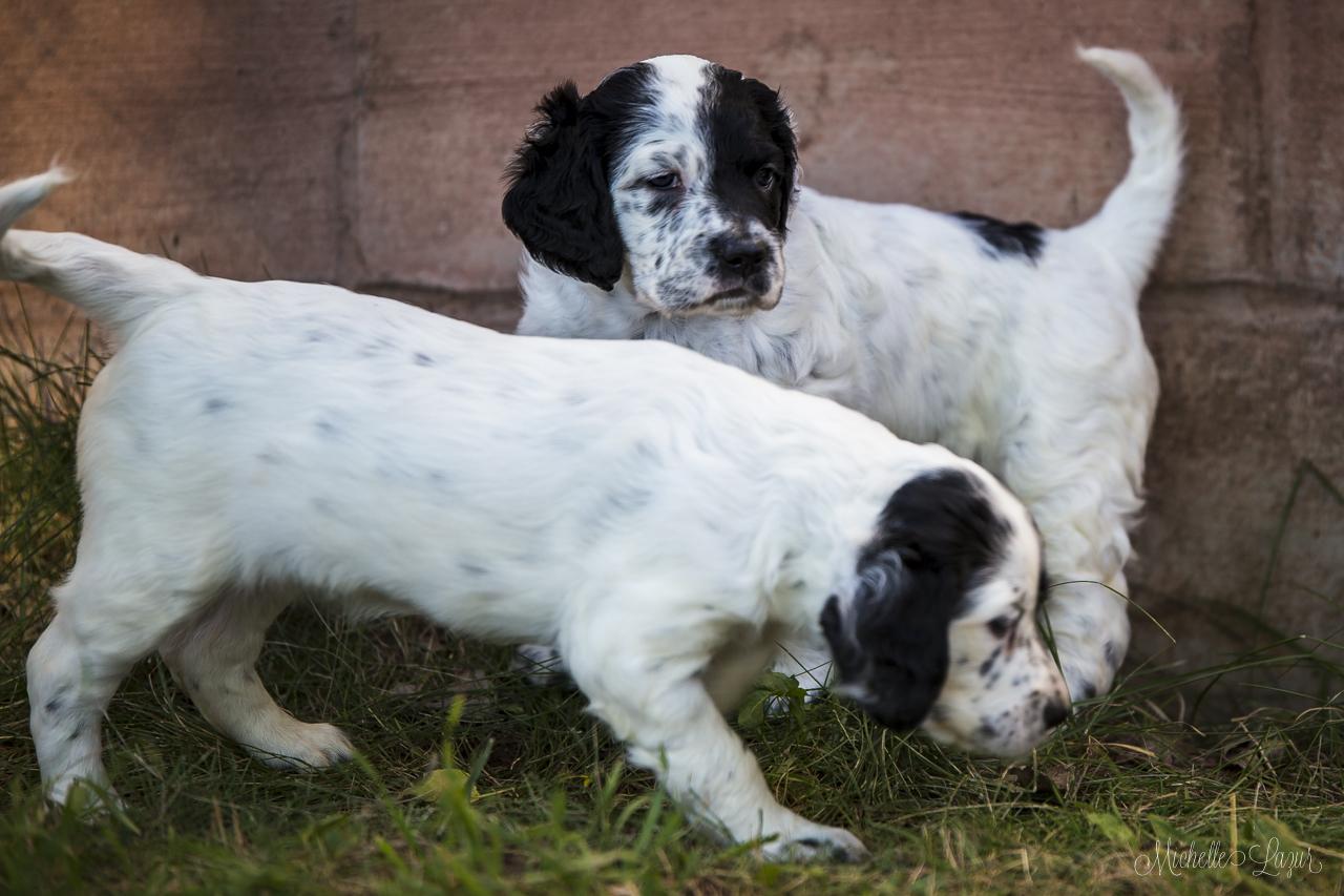 Laurel Mt. Llewellin Setter puppies 20150804-_MG_8821