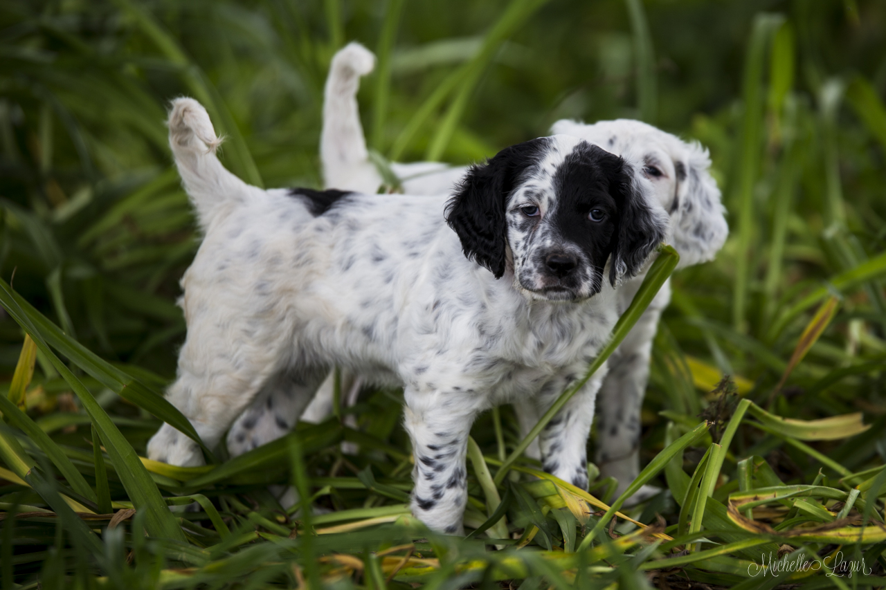 Gorgeous, stylish Llewellin Setter Puppies 20150813-_MG_9886