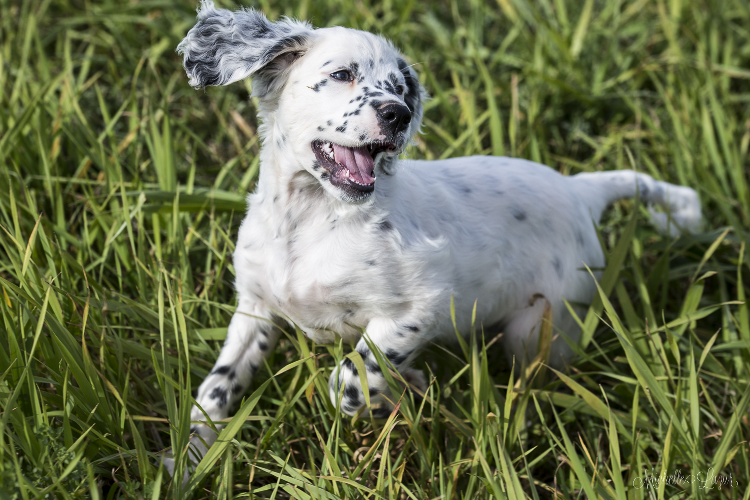 Llewellin Setter Puppy Trouble 20151003-_MG_2821