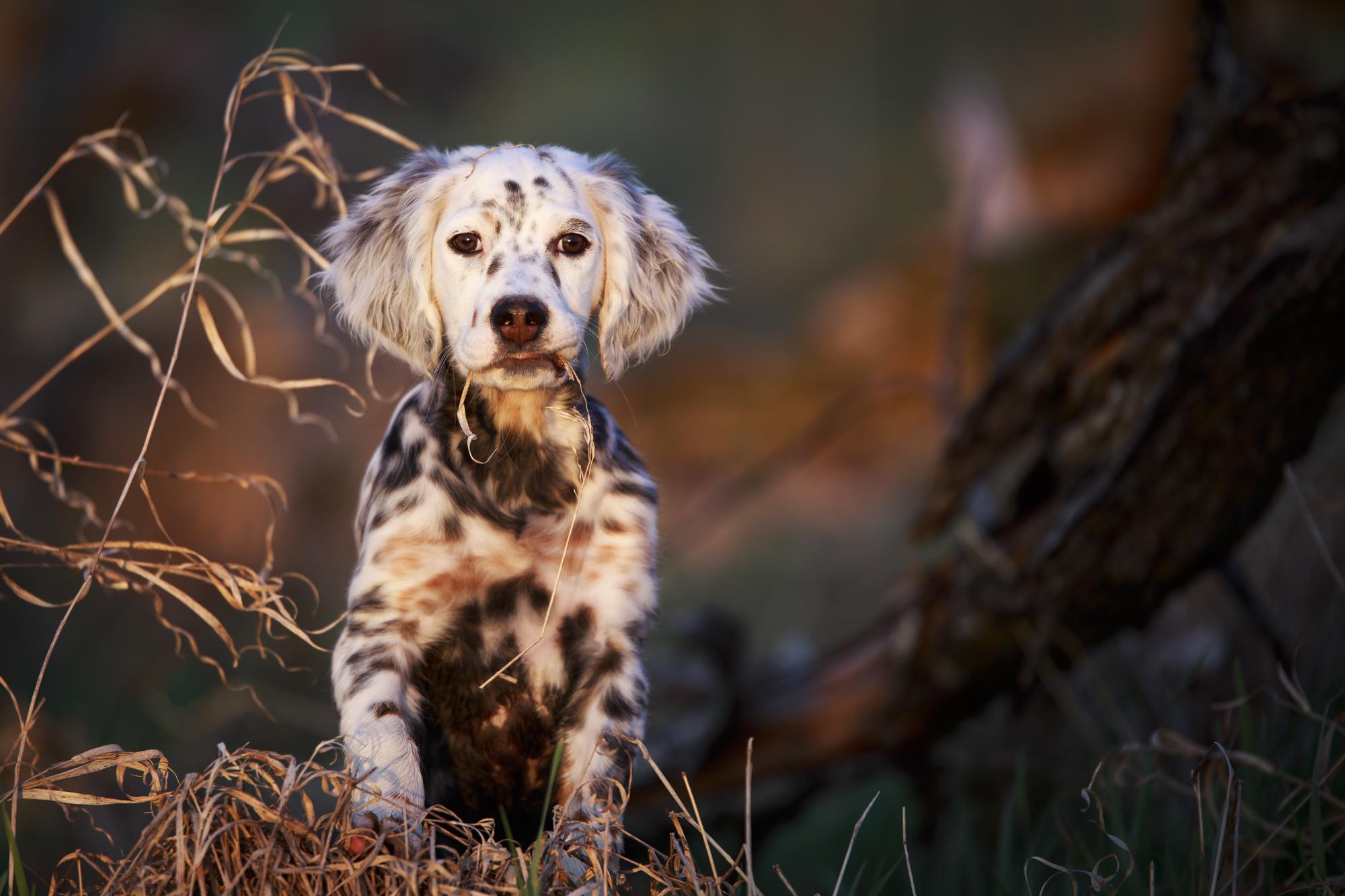 Lobo, a tri-belton, Laurel Mt. Llewellin Setter Puppy 20150504-_MG_7058