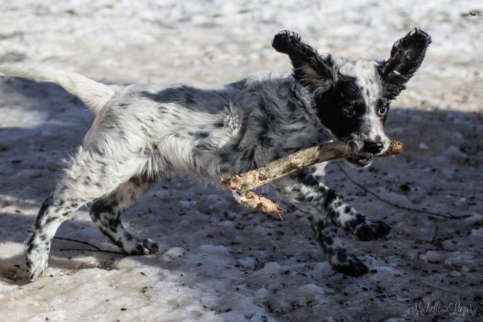 Llewellin Setter Puppy, Crockett