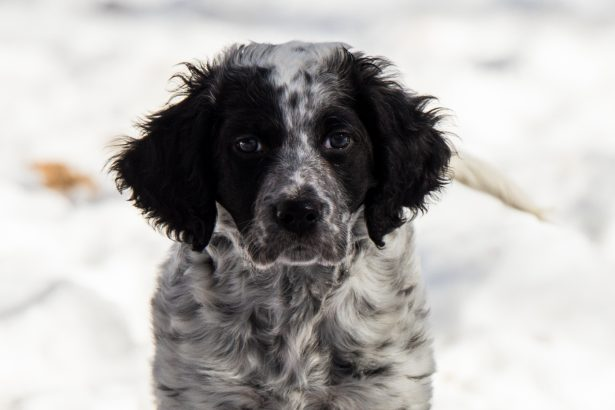 Our Llewellin Setter Pup, Crockett