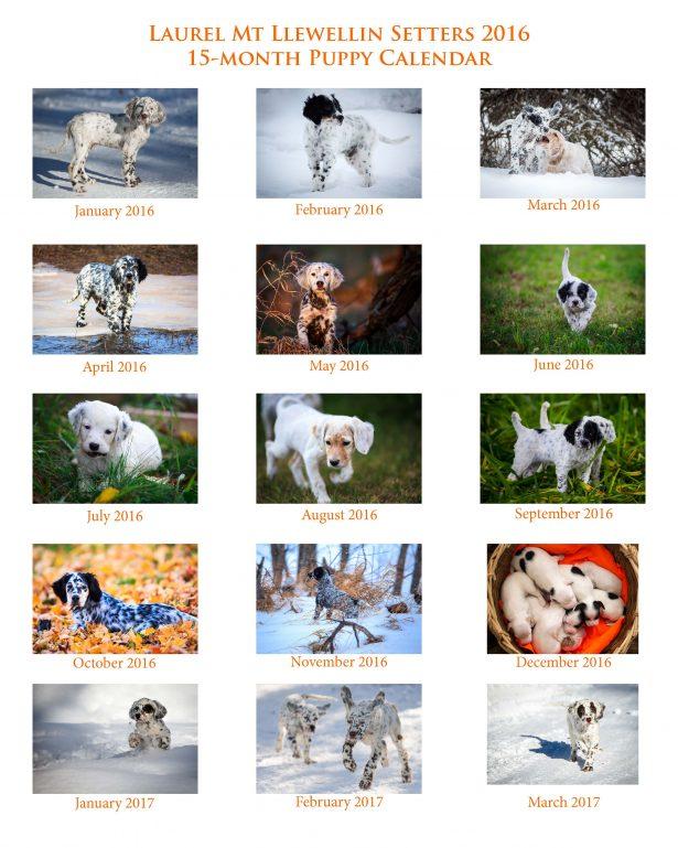 Laurel Mt Llewellin Setter Puppy Calendar