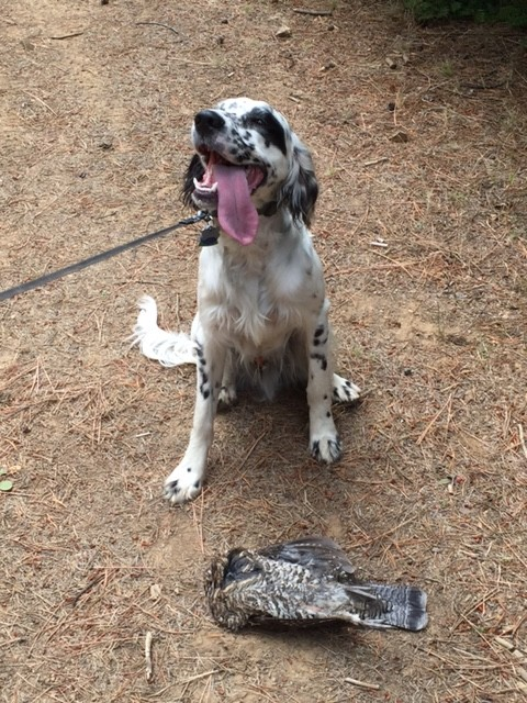 Gus, a Llewellin Setter owned by Steve and Patti Jangeo of Oregon