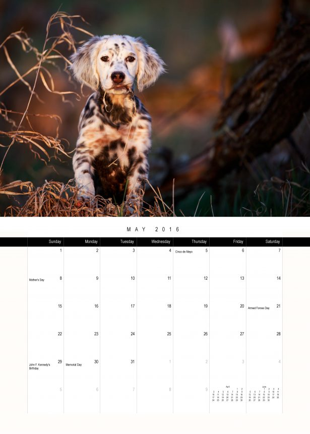 Llewellin Setter Puppy Calendar May Preview