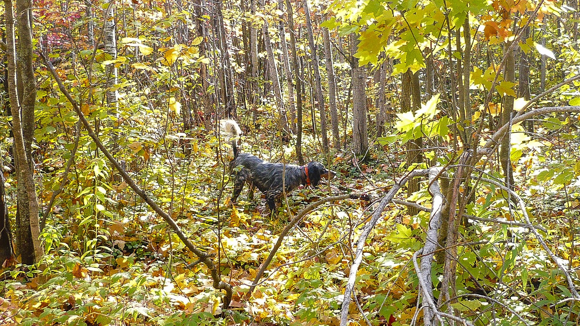 Laurel Mt's Llewellin Setter, Luke pointing a Ruffed Grouse in the Northwoods. September 2008