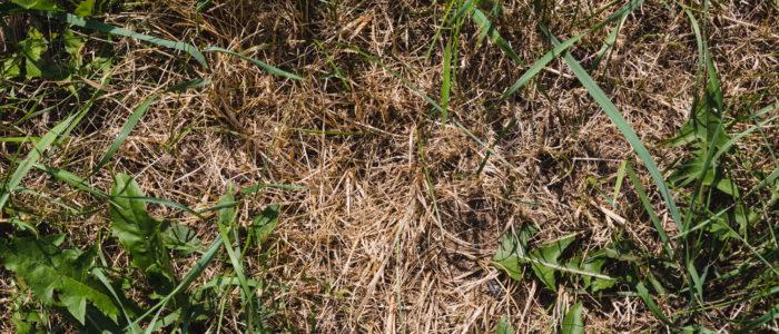 Urine burn on lawn