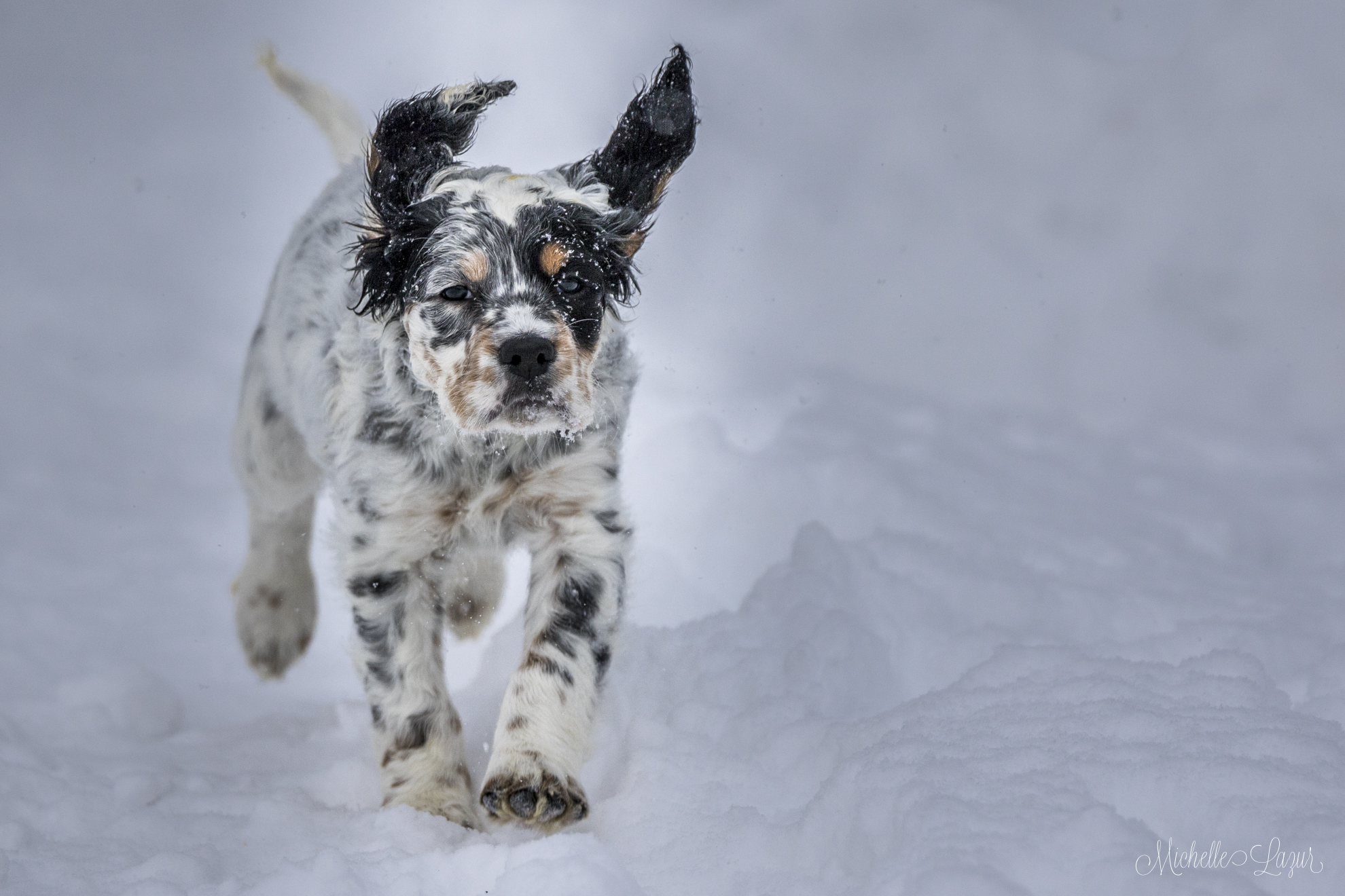Photo for the Llewellin Setter Puppy Calendar