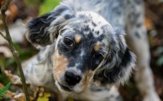 A Laurel Mt Llewellin Setter Puppy