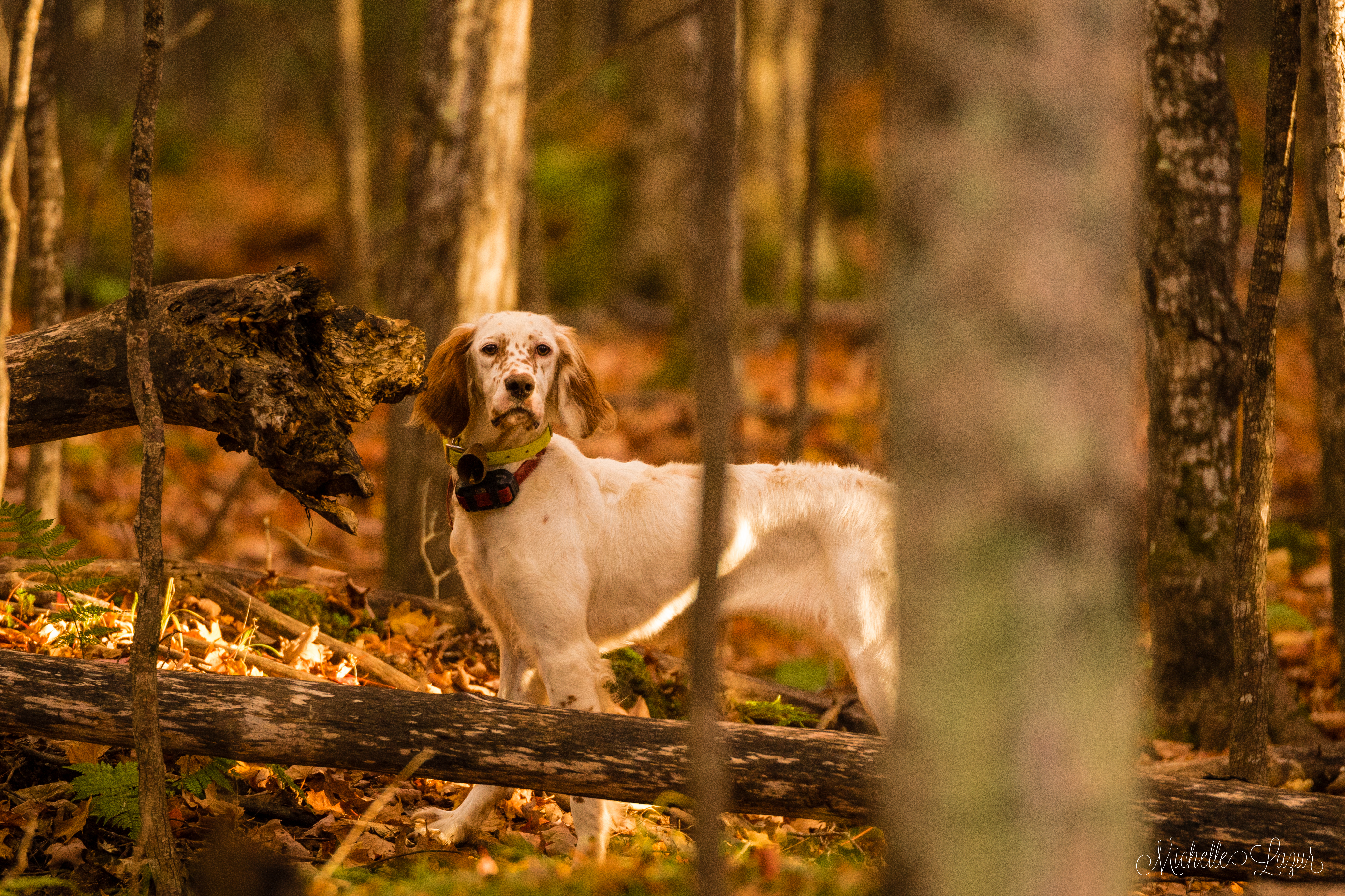 Our Llewellin Setter, Penny, at 11 months old--hunting Ruffed Grouse