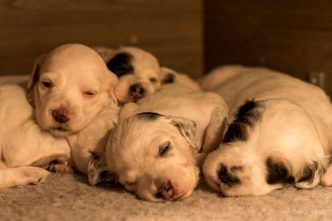 Beautiful litter of llewellin setter puppies