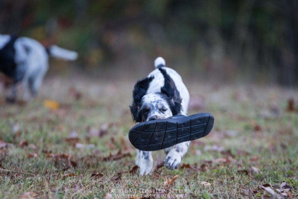 Laurel Mt Llewellin Setter Puppy running with a shoe. this is Willow.