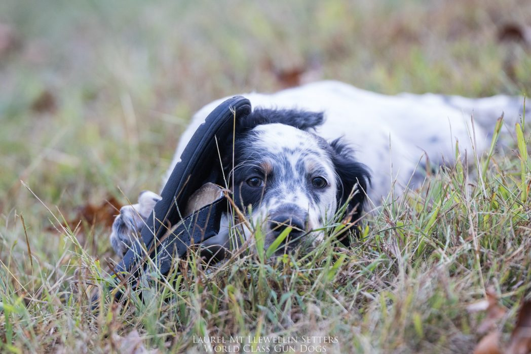 Laurel Mt Llewellin Setter Puppy, Willow