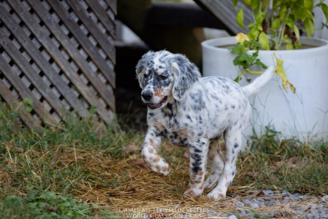Laurel Mt Llewellin Setter Puppy, Hogan.