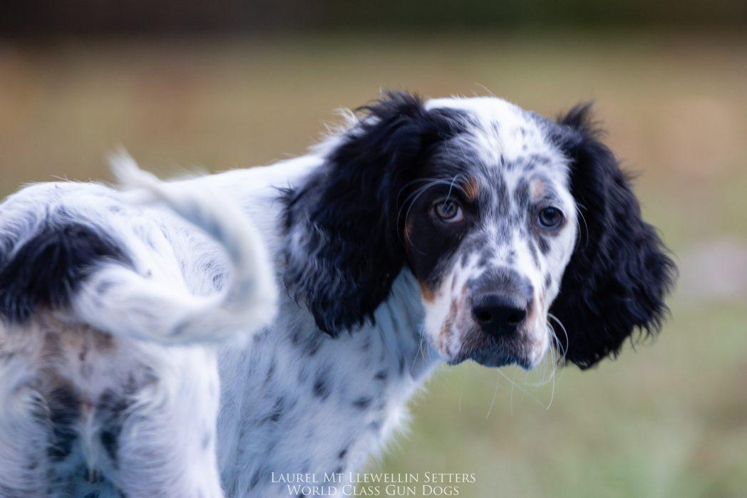 Laurel Mt Llewellin Setter Puppy Willow
