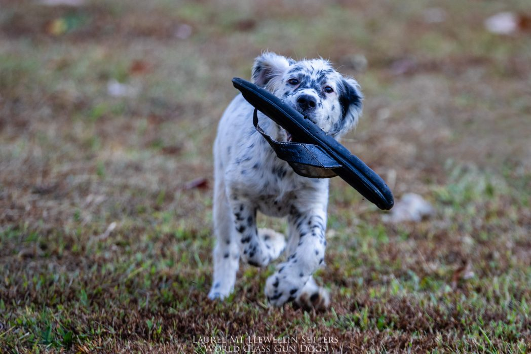 Laurel Mt Llewellin Setter Puppy, Nova