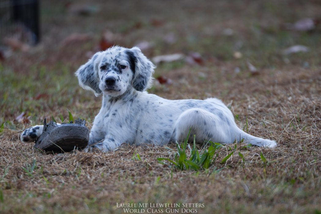 Laurel Mt Llewellin Setter Puppy, Nova.