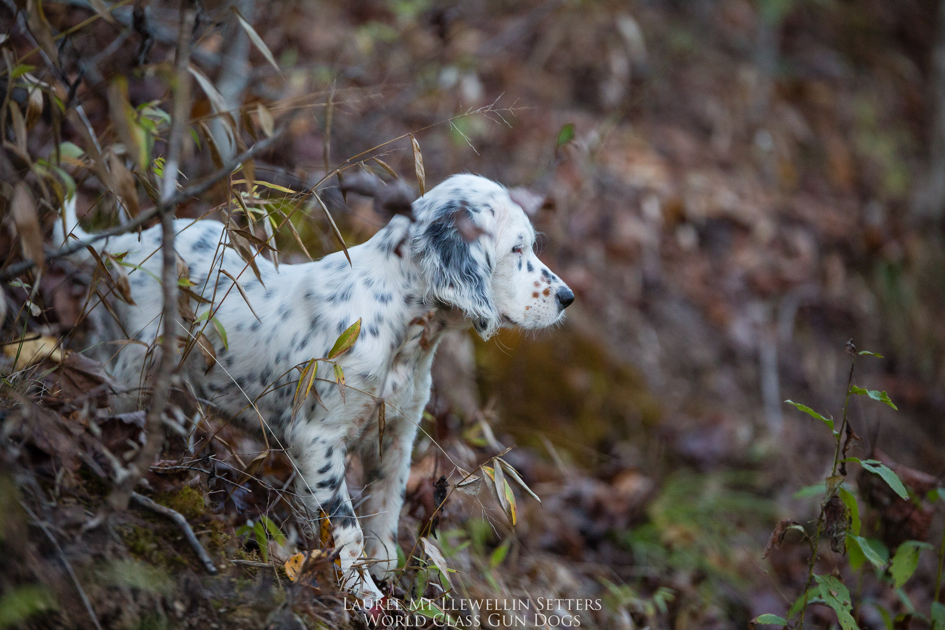 Laurel Mt Llewellin Setter Puppy, Hope