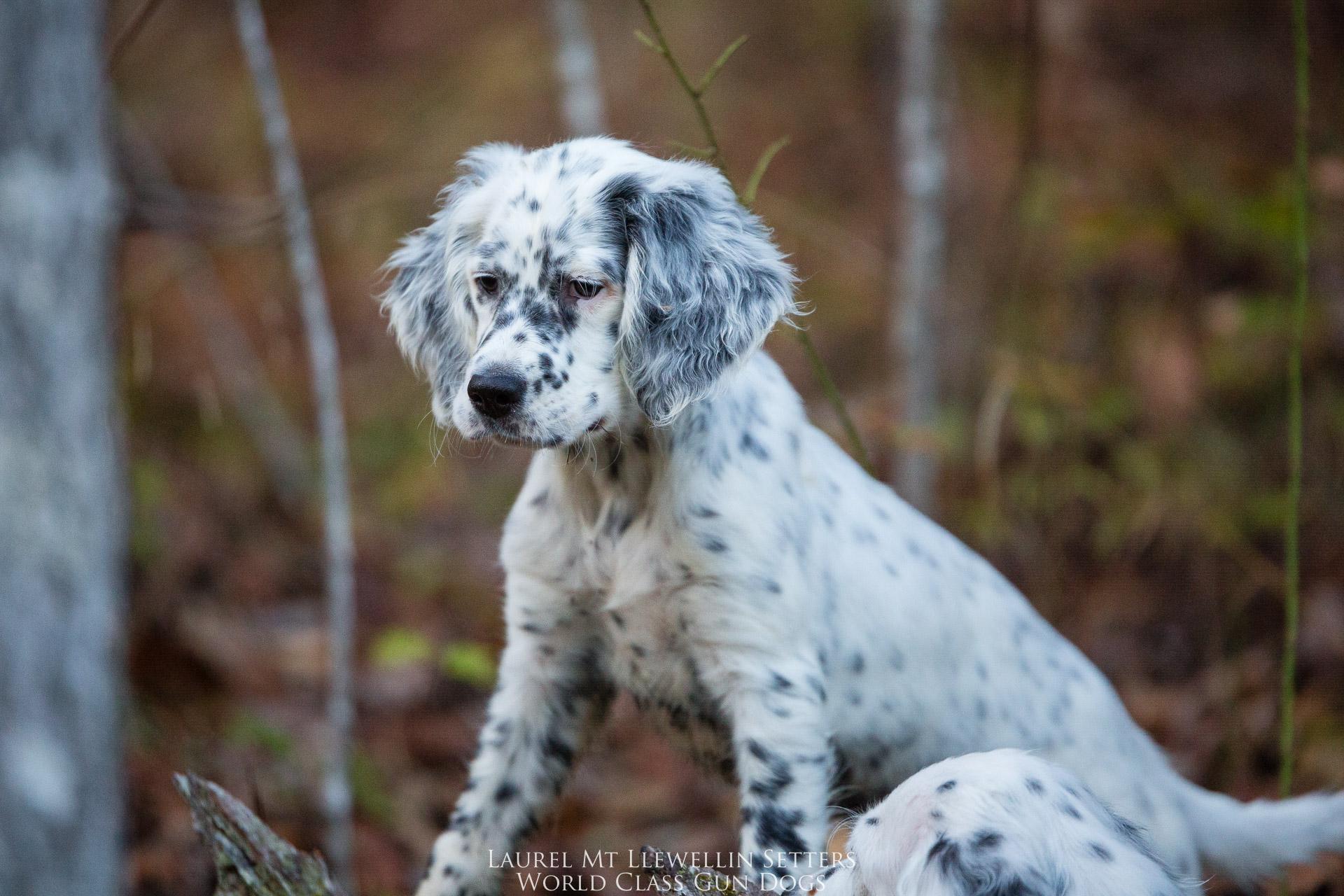 Laurel Mt Llewellin Setter Puppy Nova