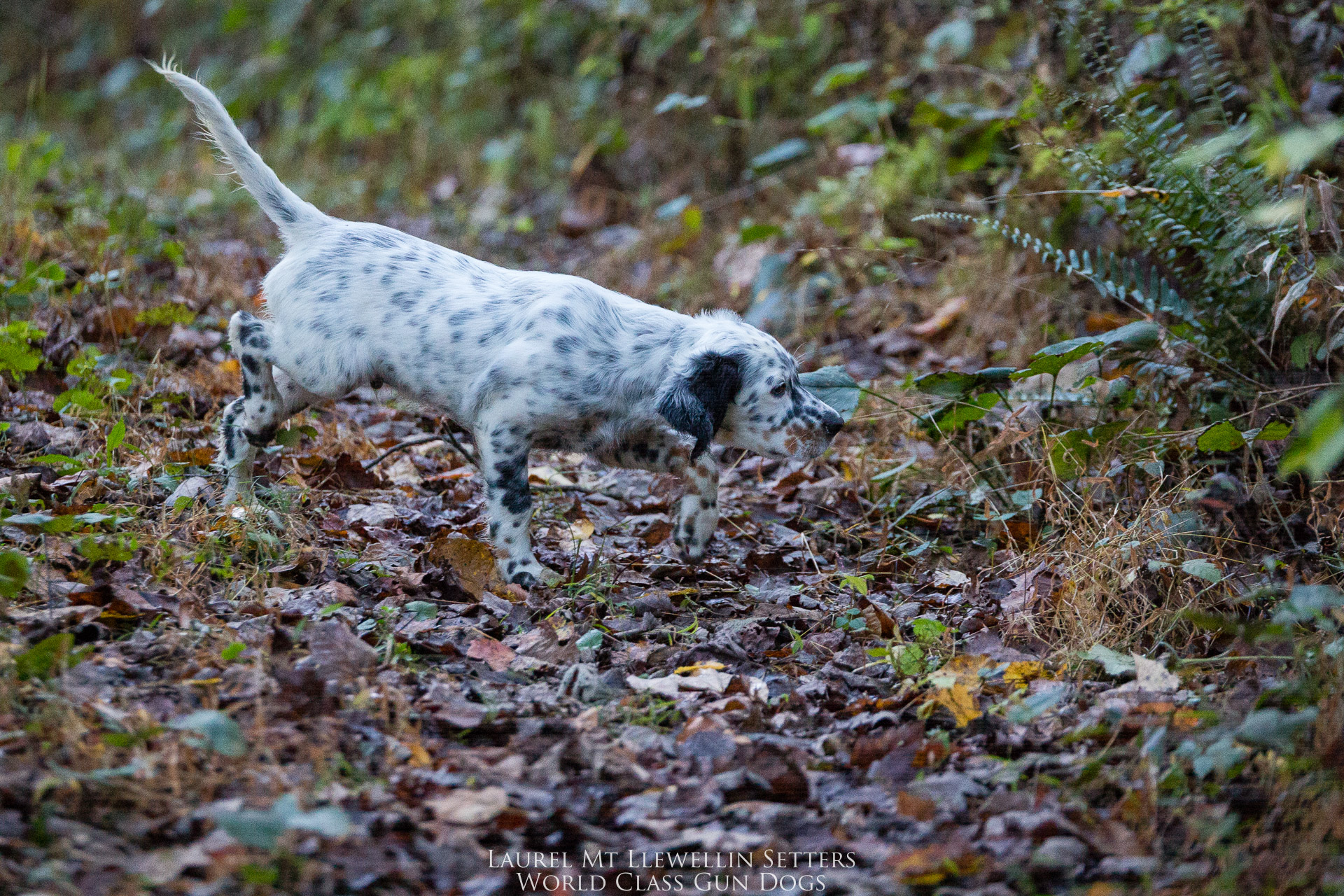 Laurel Mt Llewellin Setter Puppy, Popple
