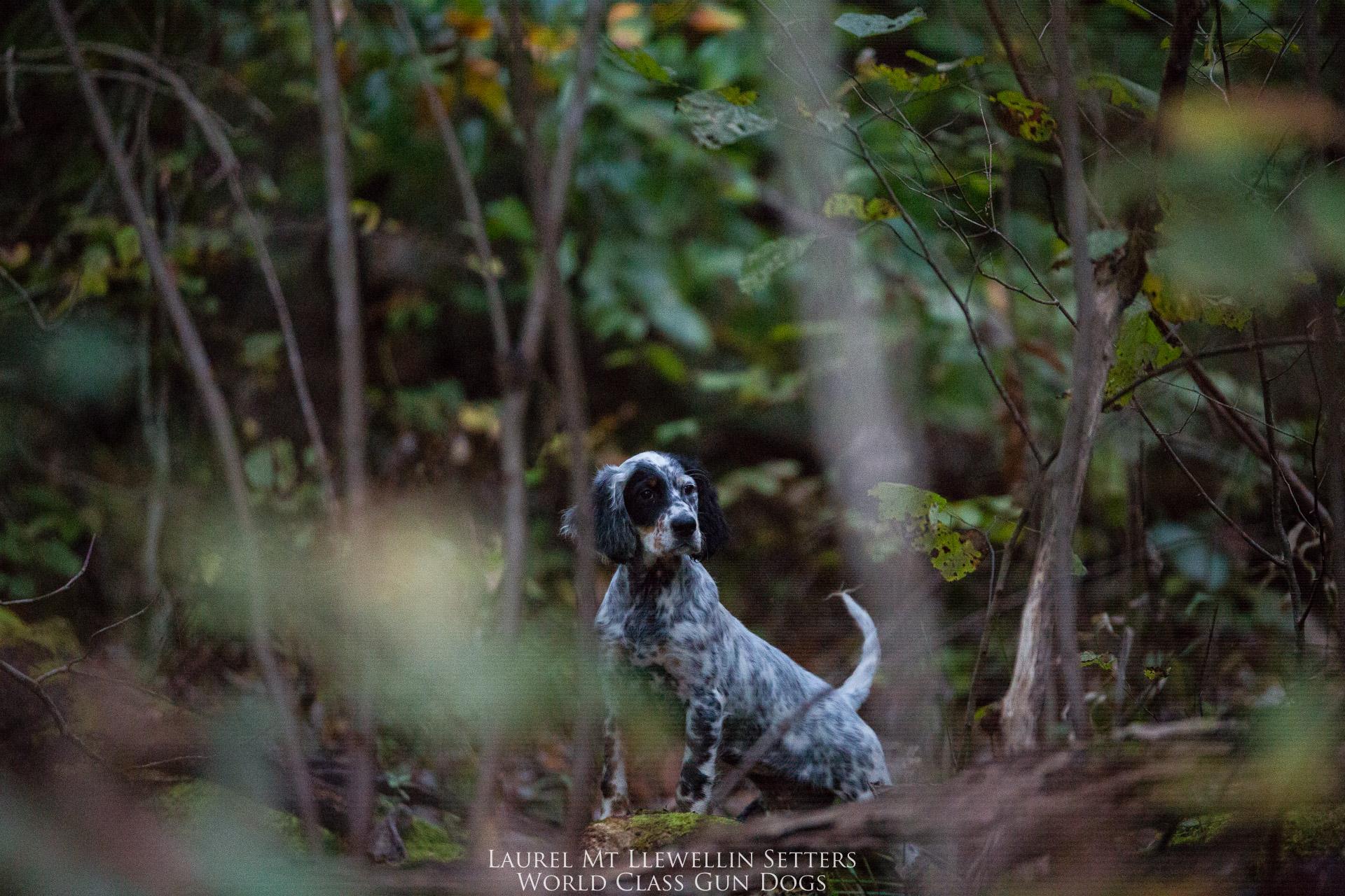 Laurel Mt Llewellin Setter Puppy, Aspen