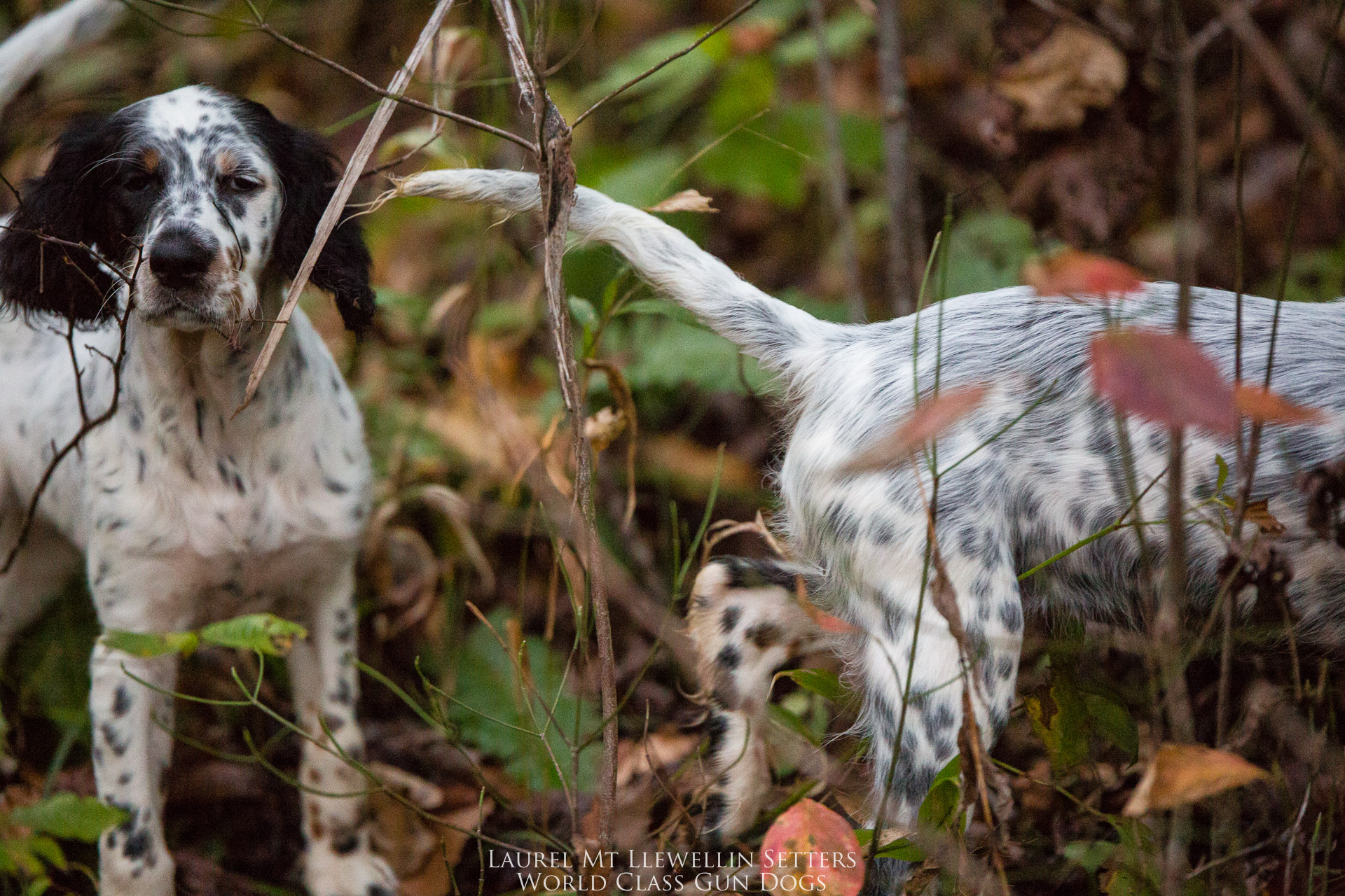 Laurel Mt Llewellin Setter Puppy, Willow