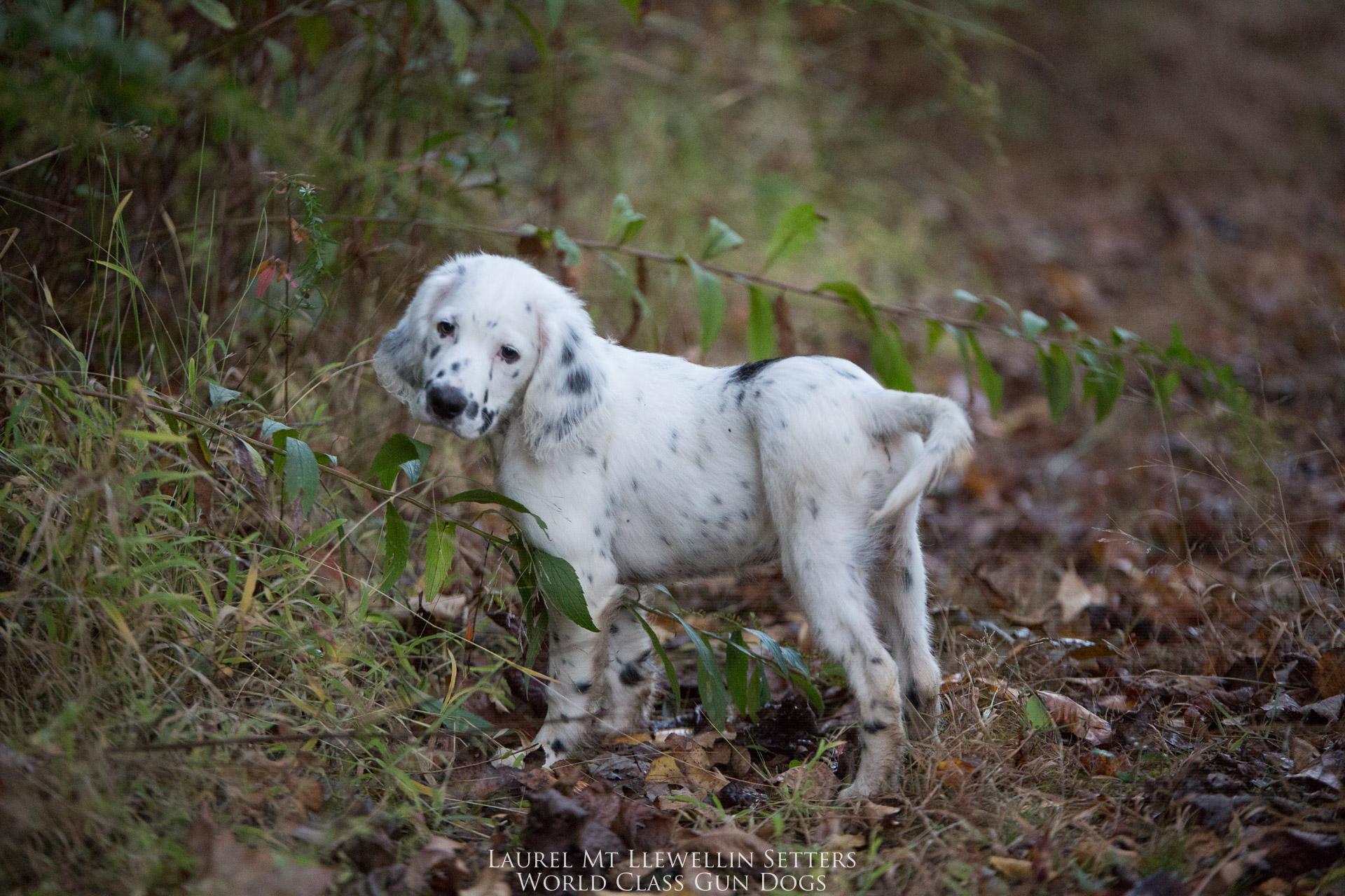 Laurel Mt Llewellin Setter Puppy, Neo